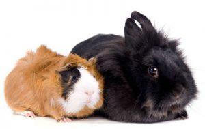 rabbit-guinea-pig